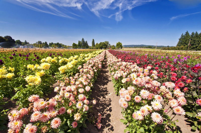 rows of different color flowers in a field